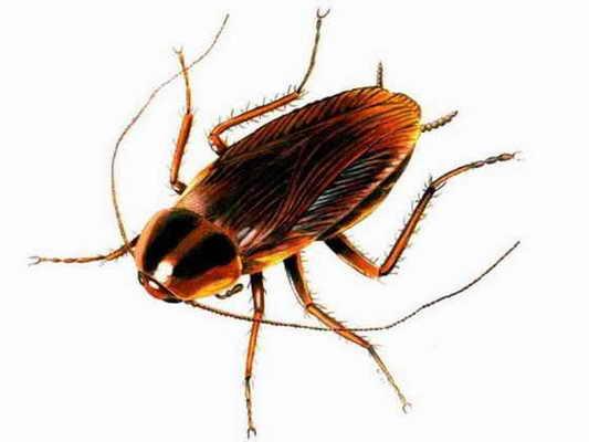 Тараканы живут без головы до того момента, пока не умрут с голоду.